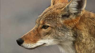 Coyote atau anjing hutan ternyata merupakan asal mula kematian ada di muka bumi
