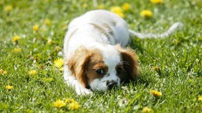 Anjing itu bisa makan rumput atau kotoran agar membuat pencernaannya lebih baik