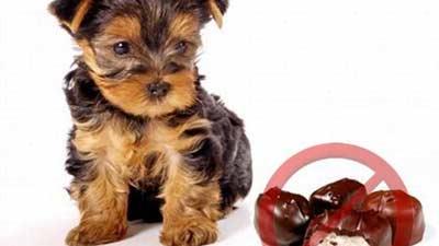 Jangan pernah memberikan anjing coklat karena dapat berbahaya
