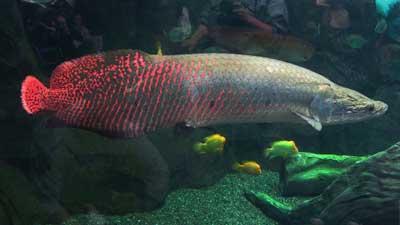 Arapaima adalah salah satu hewan laut purba yang masih bertahan hingga sekarang ini