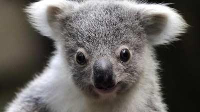 Bulu koala itu tergantung atas lingkungan tempat tinggalnya dan biasanya lebat