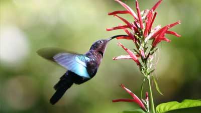 Burung Kolibri (Hummingbird)