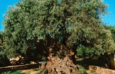 Ellia Bouybon adalah salah satu pohon tertua dunia dengan umur 2000 hingga 3000 tahun