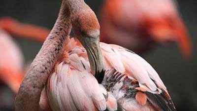 Flamingo at Columbus Zoo and Aquarium