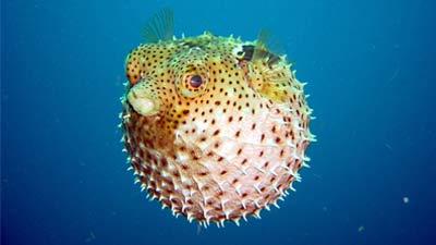 Puffer Fish or Fugu Fish