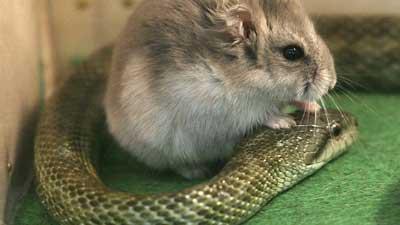 Hamster Gohan dan Ular