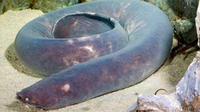 Ikan Hag adalah salah satu hewan laut purba yang masih bertahan hingga sekarang ini