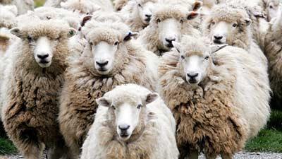 Hitung domba, benar-benar membantu tidur atau tidak?