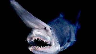 Hiu Goblin adalah salah satu hewan laut purba yang masih bertahan hingga sekarang ini