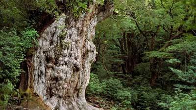 Jomon sugi di Jepang adalah salah satu pohon paling tua di dunia dengan umur mungkin mencapai 5000 tahun