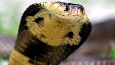 Ular Cobra