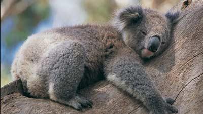 Setiap koala memiliki rumah atau pohonnya masing-masing