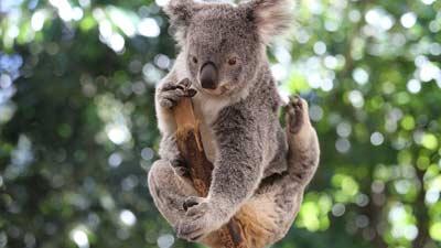 Koala itu bau, dideskripsikan seperti bau urine