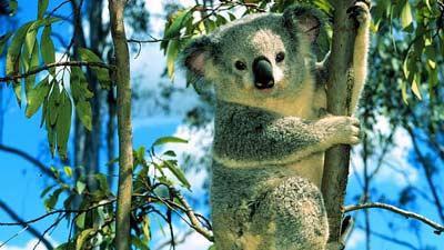 Koala adalah hewan endemik Australia atau hewan yang hanya ada di Australia
