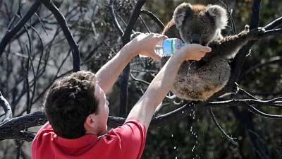 Arti nama koala adalah