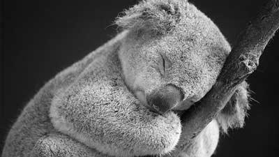 Setiap harinya, koala dapat tidur 18 hingga 22 jam
