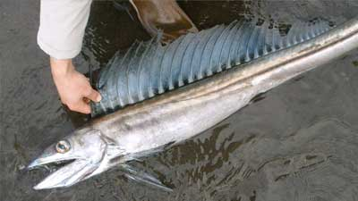 Lancetfish adalah salah satu hewan laut purba yang masih bertahan hingga sekarang ini