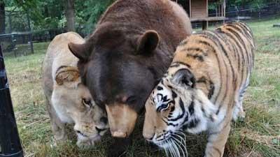 Beruang Singa dan Harimau