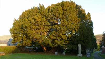 Llangernyw Yew adalah salah satu pohon tertua dunia yang umurnya diperkirakan lebih dari 4000 tahun