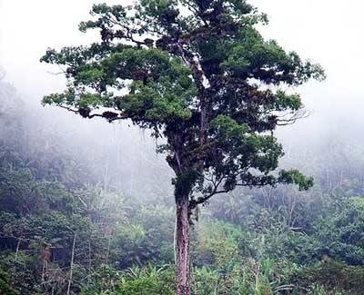 Patriarca da Floresta atau Kepala Keluarga dari Hutan adalah pohon berumur 3.000 tahun