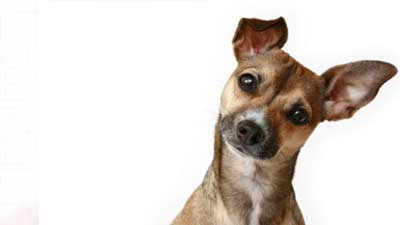 Pendengaran anjing juga sangatlah tajam hingga suara guntur atau petir dapat membuat telinganya sakit