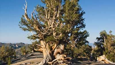 Pohon Methuselah adalah pohon tertua kedua di dunia dengan umur 4846 tahun