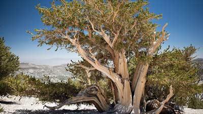 Pohon pinus anonim ini adalah secara resmi pohon tertua dunia dengan umur 5064 tahun