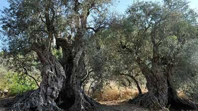 The Sisters disebut-sebut sebagai pohon paling tua di dunia dan digunakan di Bahtera Nabi Nuh