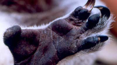 Koala memiliki sidik jari yang benar-benar menyerupai manusia