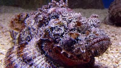 Stonefish
