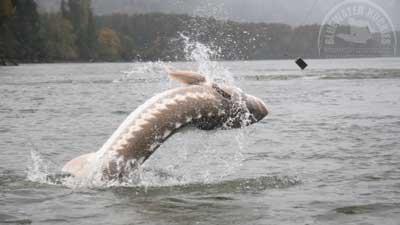 Sturgeon adalah salah satu hewan laut purba yang masih bertahan hingga sekarang ini