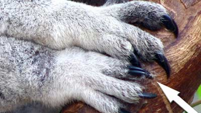 Tangan dan kaki koala itu benar-benar unik, dua jempol dan dua jari menempel