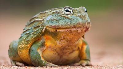 Kodok afrika African Bullfrog