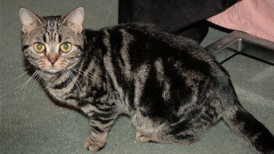 kucing american shorthair