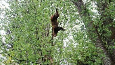 Beruang yang jatuh dari pohon