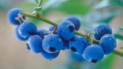 Blueberries yang bergantungan di pohon