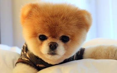 Boo si anjing lucu