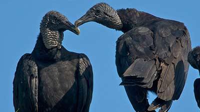Ternyata burung nasar hitam adalah hewan yang setia ke pasangan mereka