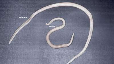 Cacing betina dan cacing jantan Ascaris Lumbricoides