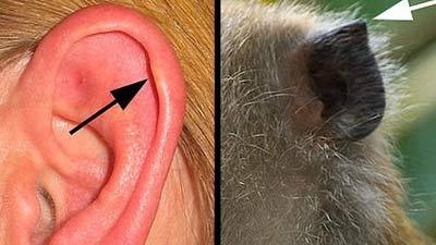 Darwin's point contoh evolusi dari monyet