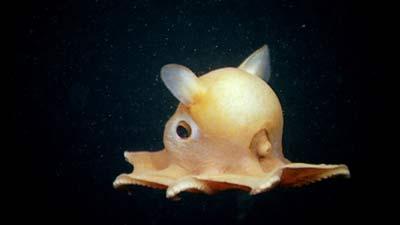 Dumbo Octopus saat masih kecil