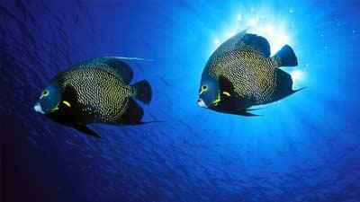 French Angelfish akan selalu bersama pasangan mereka