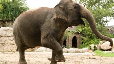 gajah di dalam kebun binatang