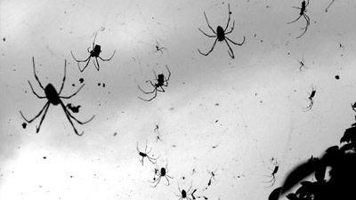 Hujan Laba-laba dalam jumlah sangat banyak
