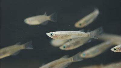 Ikan medaka dari Jepang