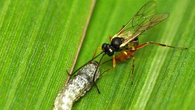 Cacing dan tawon di atas daun jagung