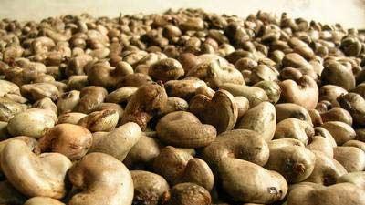 timbunan kacang mete