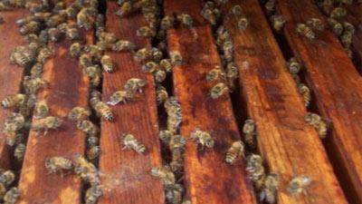 Lebah dibawa ke luar angkasa