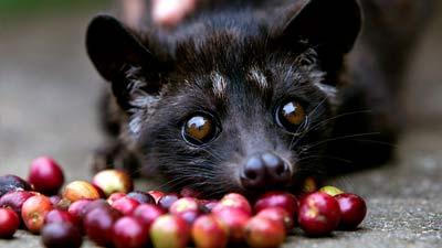 Luwak sedang makan buah kopi sambil melihat kamera