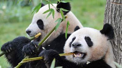 2 Panda sedang makan bambu